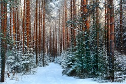 pine forest, winter