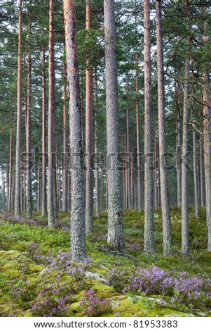 Pine forest with blooming heather