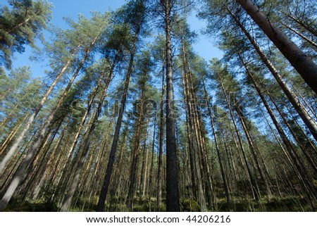 Pine forest with tall trees