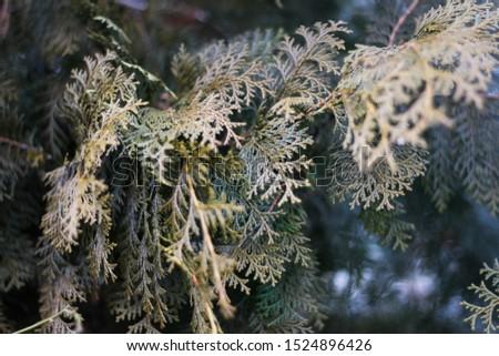 Pine,green pine branches ,Pine tree closeup #1524896426