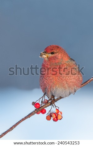 stock-photo-pine-grosbeak-240543253.jpg