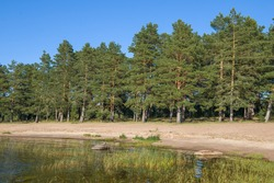 Pine grove on the shores of Ladoga lake on a sunny August day. Leningrad region, Russia