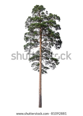 Pine isolated on white
