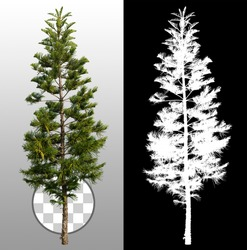 Pine isolated with a transparent background via an alpha channel. Very high quality mask without unwanted edge. High resolution for professional digital composition.