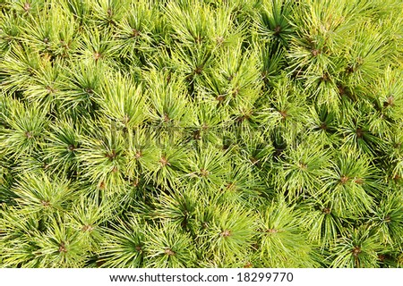 Leaf Pine Pine Leaf For Background And