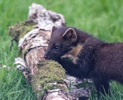 Pine Marten (Martes martes) Juvenile in long grass at fallen log.