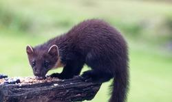 Pine Marten (Martes martes) Juvenile looking for food at feeding station.