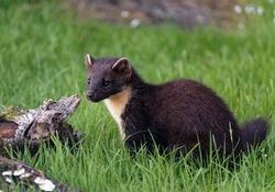 Pine Marten (Martes martes) Juvenile looking for food in fallen log.