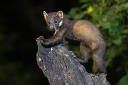 Pine marten (Martes martes) on trunk in dark circumstances in a forest at night. Wildlife scene of nature in Europe.