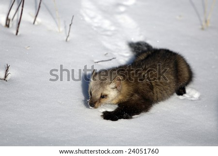Pine Martin in Snow