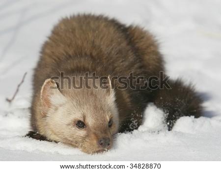 Pine Martin in Snow Scene - stock photo
