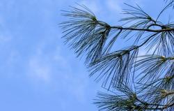 Pine needles and cones of Himalaya pine tree