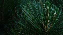 pine needles macro closeup in forest on dark green background in summer