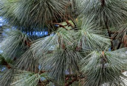 Pine needles of Himalaya pine evergreen conifer tree. Spiky foliage on branches. Nature background