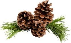 Pine, Pine Cone, Christmas Decoration.