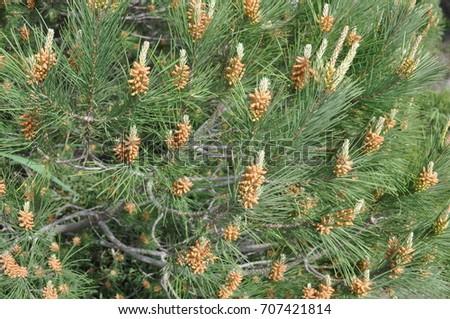 pine, pine tree #707421814