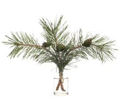 Pine (scots pine or pinus sylvestris) in a glass vessel with water