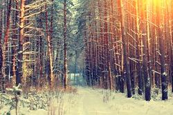 Pine snowy forest in winter