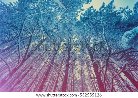 Stock Photo Pine snowy forest in winter. Gradient color