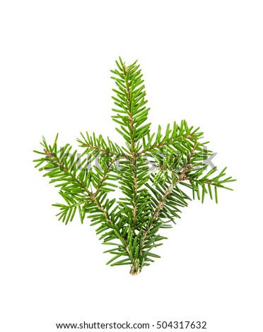 Pine sprig. Branches of christmas tree isolated on white background. Fresh green fir branches #504317632