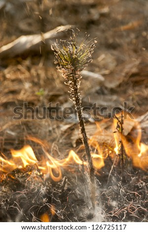 Pine sprout in bushfire - stock photo