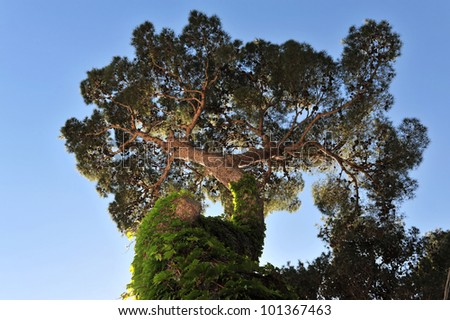 pine tree against the blue sky, isolated