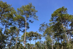 Pine tree against the sky ,blue sky , green