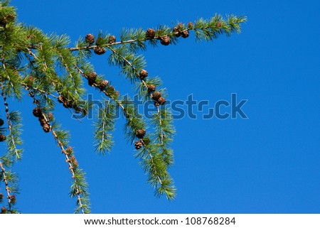 Pine tree and cones over blue sky