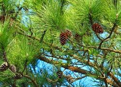 Pine tree and pine cone