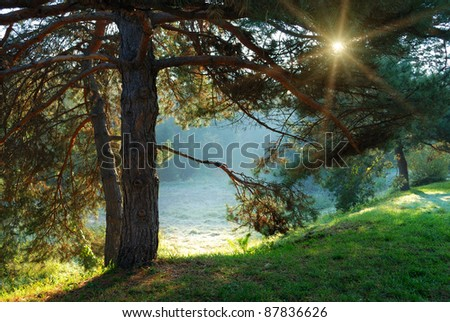 pine tree and sun rays through the branches at misty morning