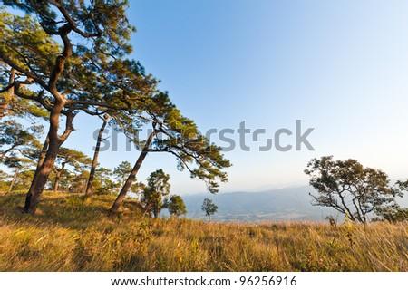 Pine tree at phukradueng national park in thailand