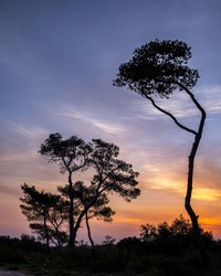 Pine tree at sunrise   on a wintry day in the Carmel forests