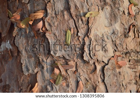 Pine tree bark texture, outer bark of pinewood which was being pulled down and cut into pieces with an electric hacksaw after being attacked by a thunderstorm