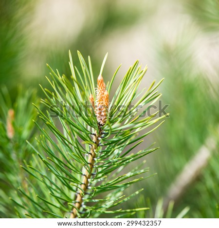 pine tree blossoms in spring on blur background. square image.