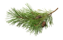 Pine tree branch and cones isolated on white