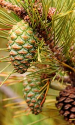 Pine Tree Branch and Pine cones