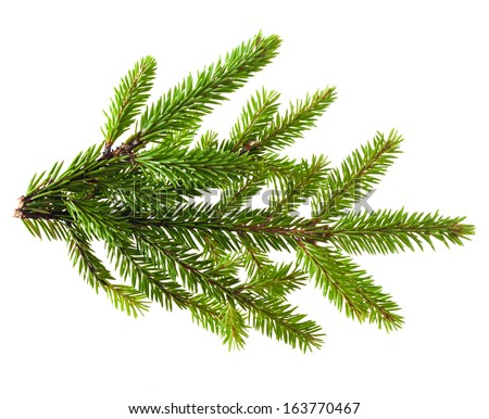 Pine tree branch isolated on white #163770467
