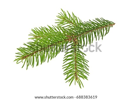 Pine tree branch isolated on white background #688383619