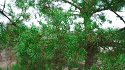 Pine tree, branches and needles. Pine branch on a blurred tree background