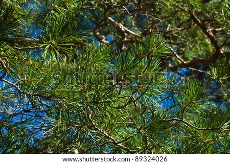 pine tree branches as background