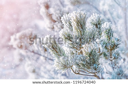 pine tree branches covered with snow. Frozen tree branch in winter forest. beautiful winter season background. soft selective focus. soft selective focus