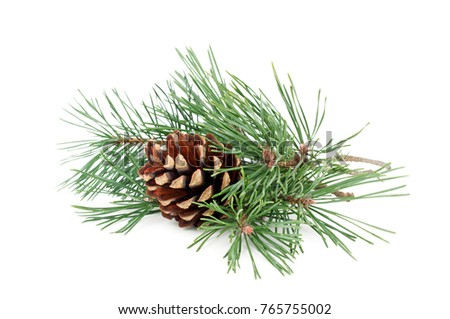 Pine tree branches with cones isolated on white background.