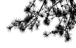 Pine tree branches with long needles and cones close-up, natural black silhouette photo