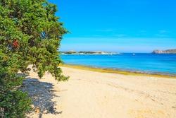 pine tree by the shore in Capo Testa, Sardinia