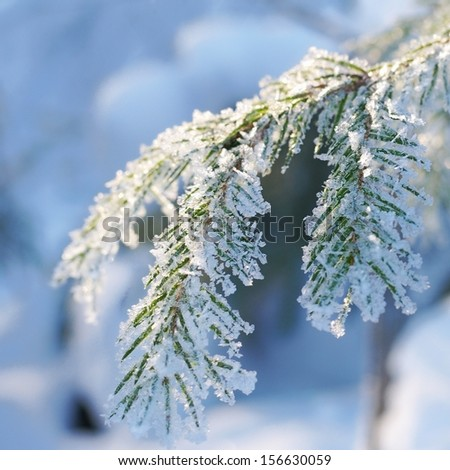 Pine tree covered with hoar frost close-up (shallow DoF)