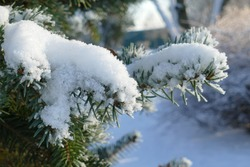 Pine tree covered with white snow in the city park. Winter season.