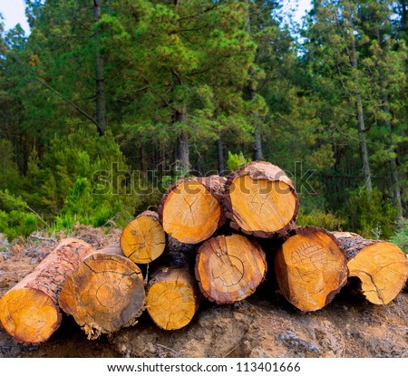 pine tree felled for timber industry in Orotava Tenerife
