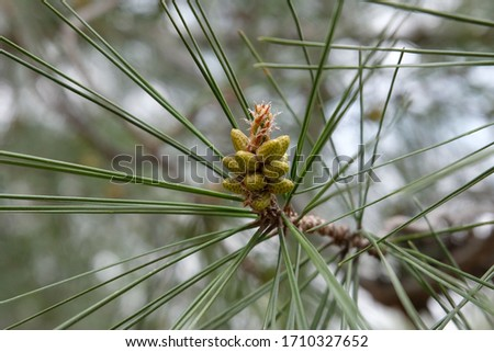 Pine tree flower close up in Spring Stok fotoğraf ©