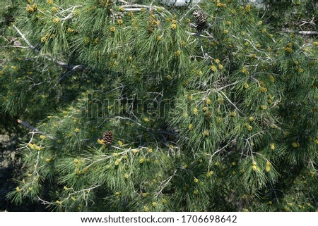 Pine tree flowers in spring Stok fotoğraf ©