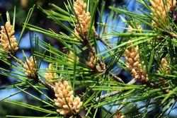 Pine tree flowers (male)